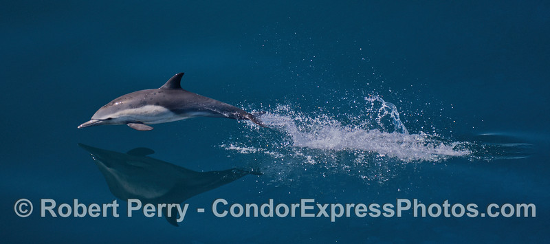 A high speed  long-beaked common dolphin