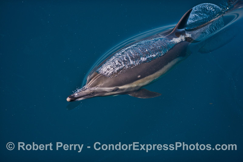 A  long-beaked common dolphin rises to the surface and emits a bubble stream