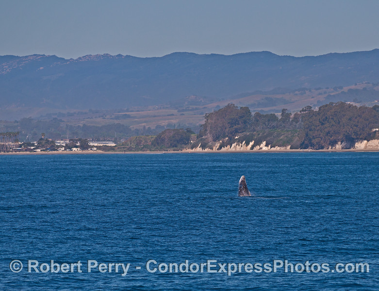Image 1 of 2:  a breaching gray whale