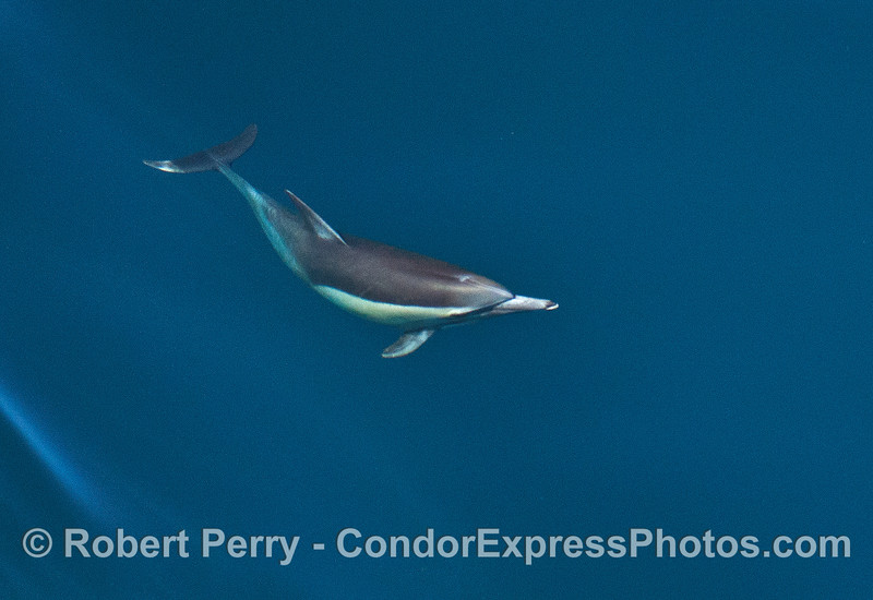 One  long-beaked common dolphin