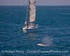 Image 1 of 3:  the sailboat Adagio has nobody at the helm as it steams full speed ahead at a gray whale