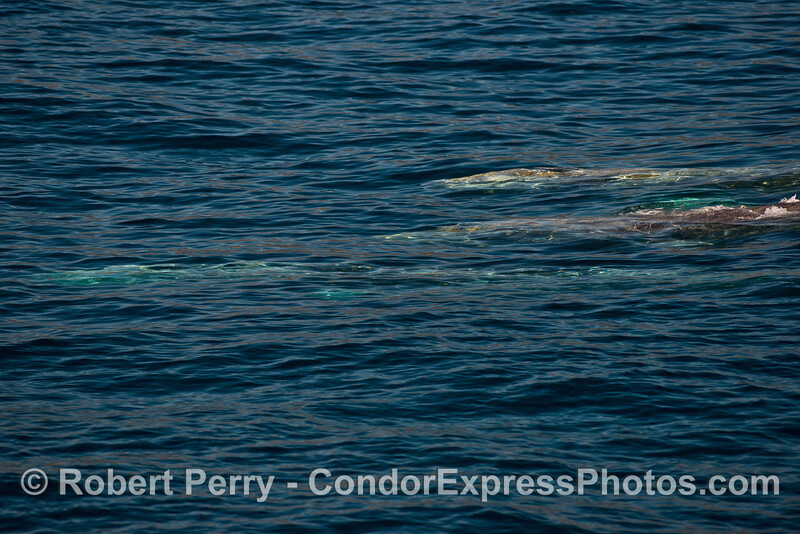 Three gray whales are seen underwater