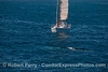 Image 2 of 3:  the sailboat Adagio has nobody at the helm as it steams full speed ahead at a gray whale (blue streak in water)