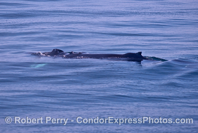 """Scarlet"" - one of our regularly seen humpback whales."