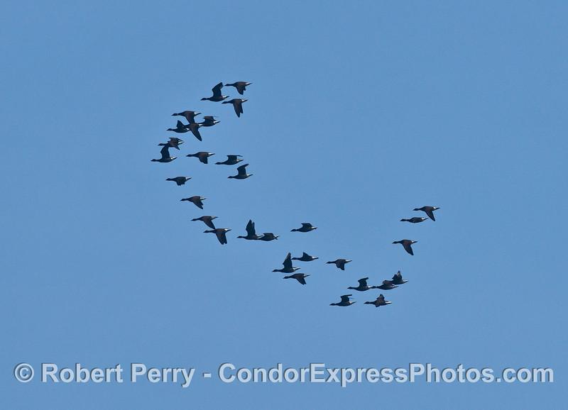 """Migrating brants - a type of ocean """"goose."""""""