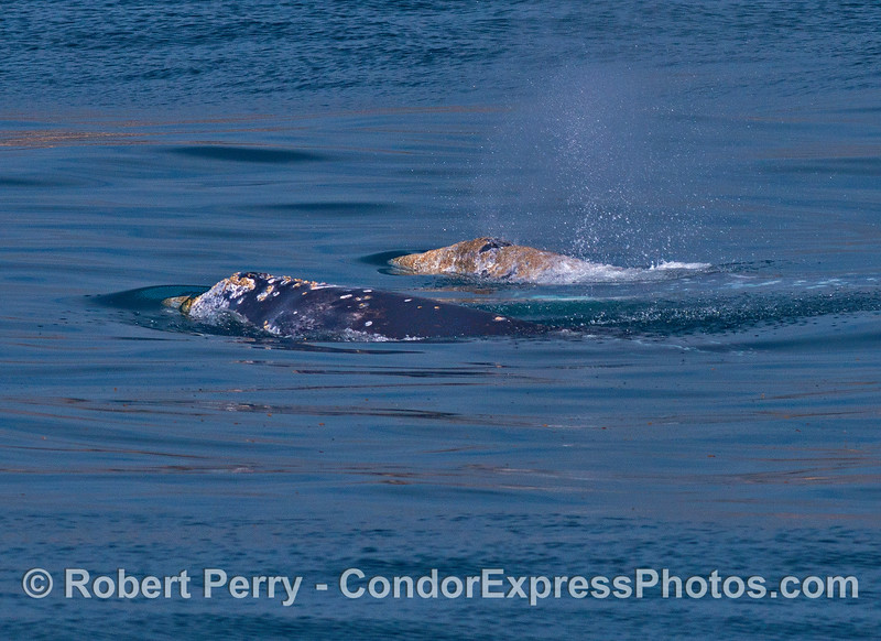 Two gray whales travel side by side.