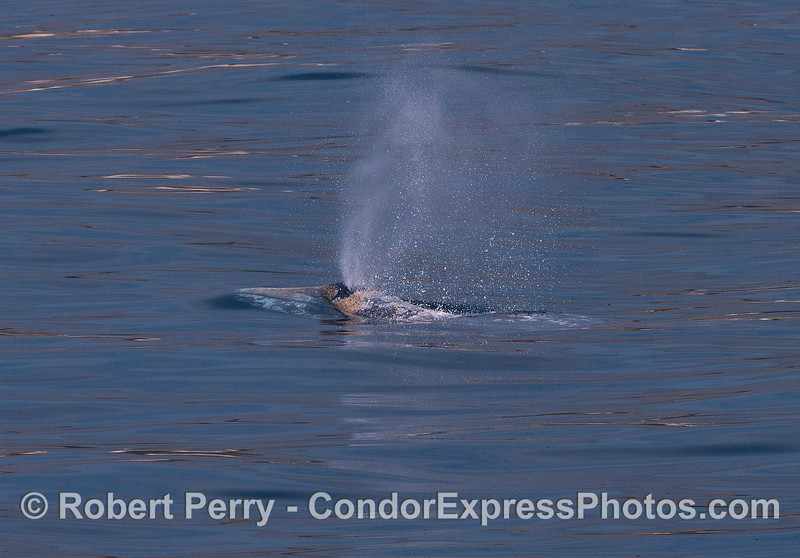 A mirror-like surface and a spouting gray whale.