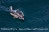Delphinus capensis 2015 03-31 SB Coast-155