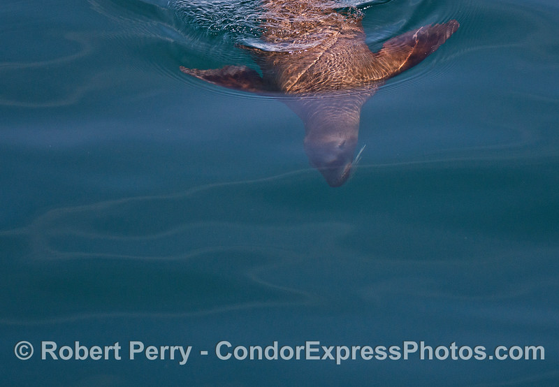 Image 4 of 4:  Underwater photographs of a California sea lion.