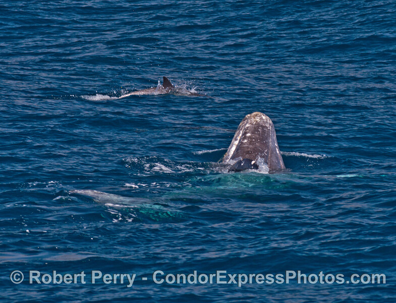 A gray whale reacts to the presence of common dolphins by rolling upside down and lifting its head (upside down spyhop)