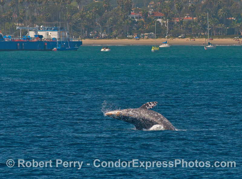 Image 2 of 3 in a row:  a gray whale takes off near the East Beach anchorage.