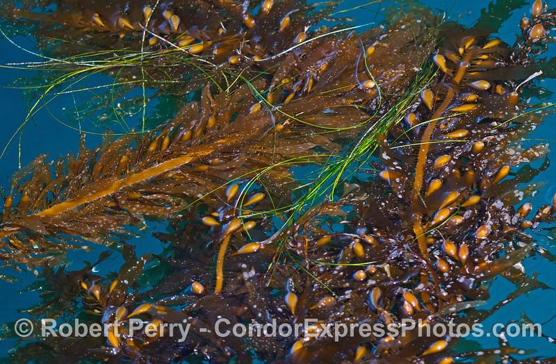 Giant kelp.