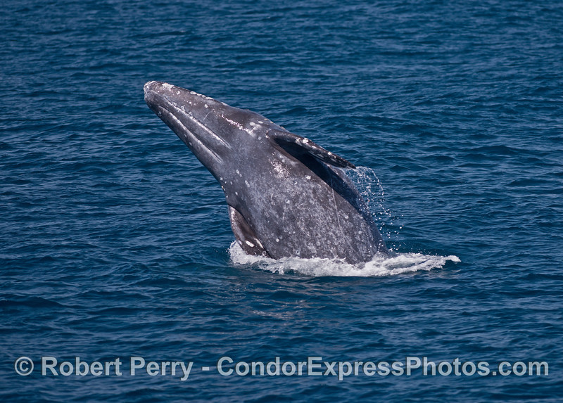 Exposing its underbelly, a gray whale breaches.