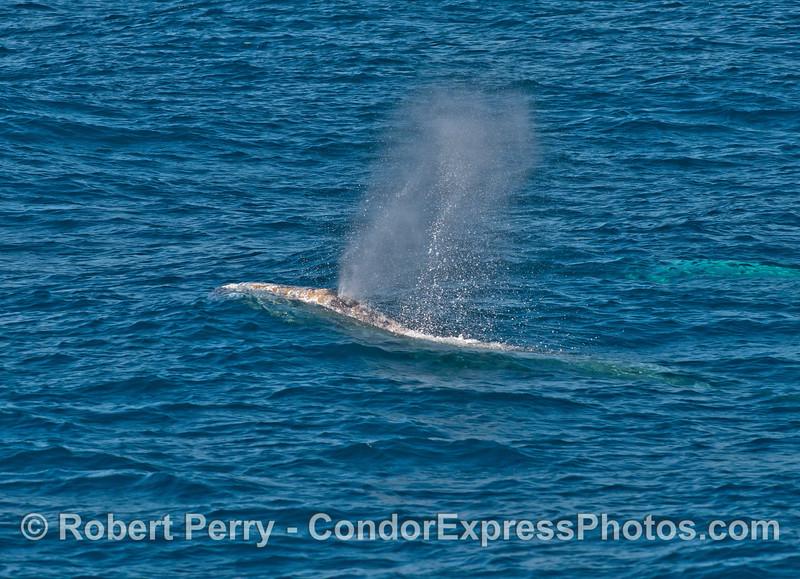 Gray whale spout.