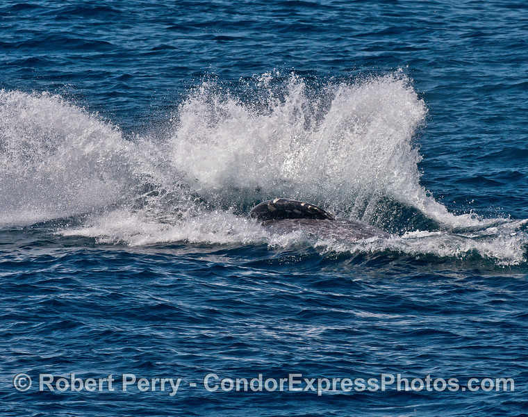A gray whale hits the deck.