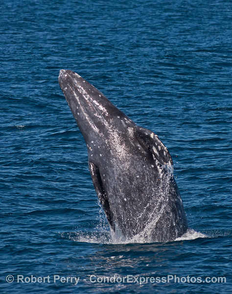 Image 3 of 4 in a row:  a gray whale takes off like a flesh and blubber missle fired from a submarine.