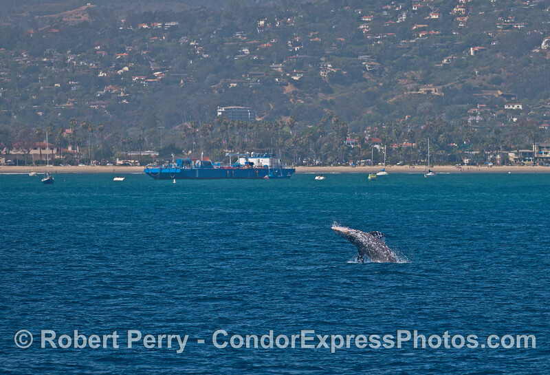 Image 1 of 3 in a row:  a gray whale takes off near the East Beach anchorage.