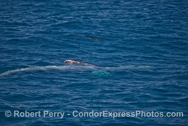 An upside down gray whale swims on the surface - possible reaction to the presence of a common dolphin pod.