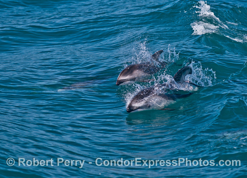 Mother (front) and calf (back) Pacific white-sided dolphins.