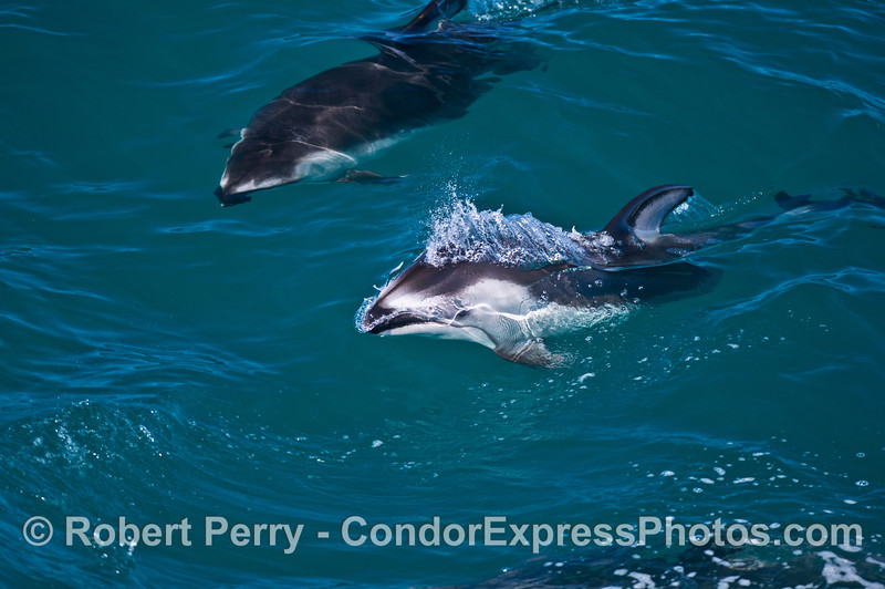 Pacific white-sided dolphins - mother and calf.