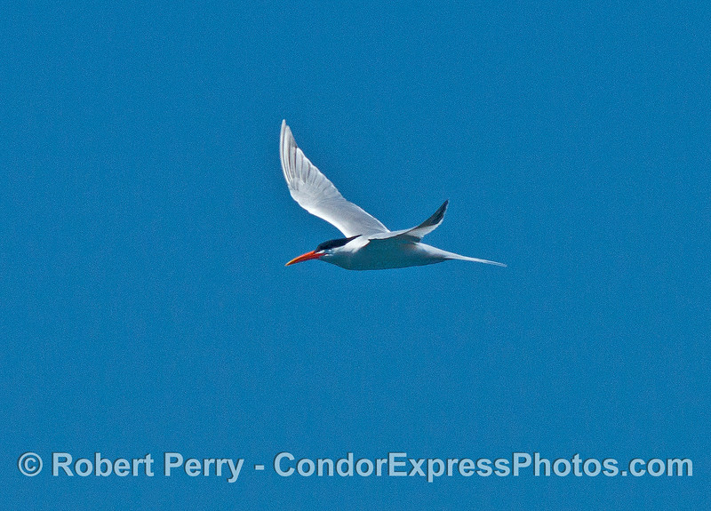 An elegant tern in flight, ready to dive on anchovies left over from common dolphins feeding.