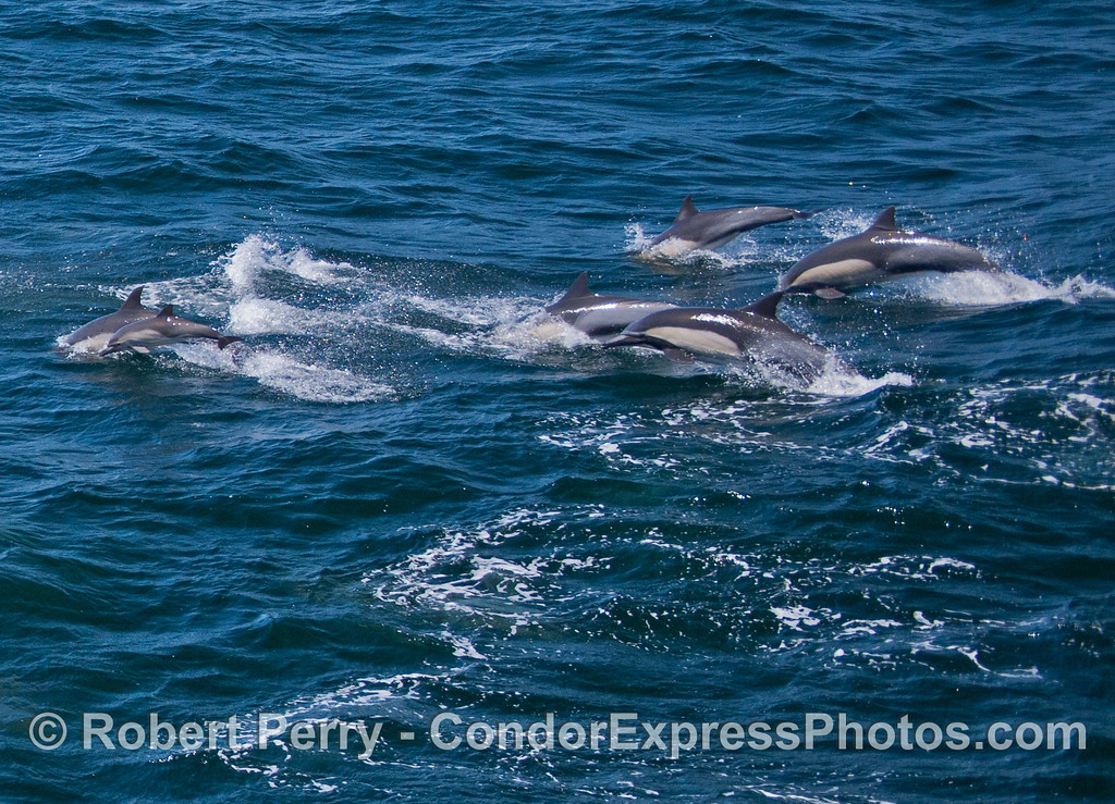 Part of the herd of long-beaked common dolphins that leaped over the on-coming waves as they moved to the west