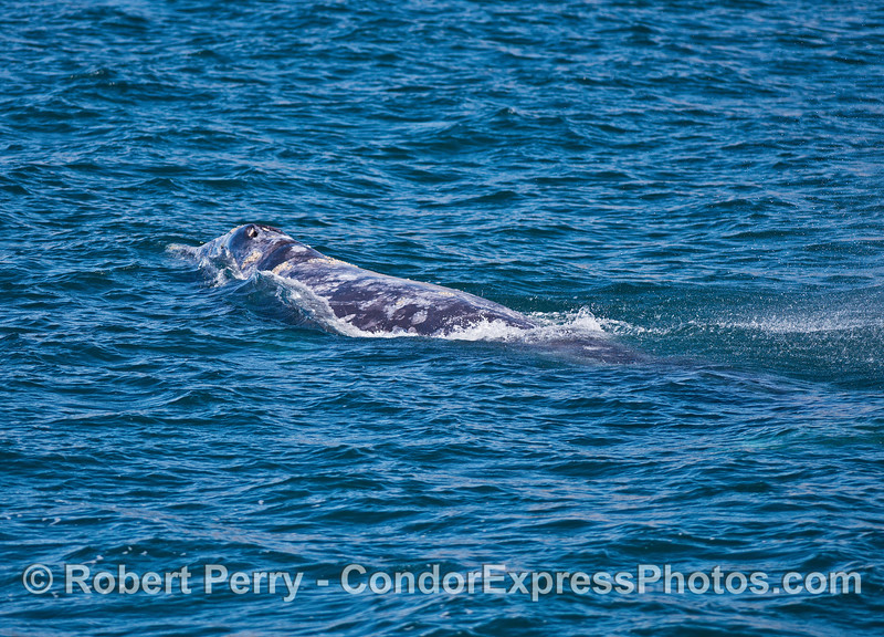 The sprinkles of spout rain are still visible on the surface behind this gray whale