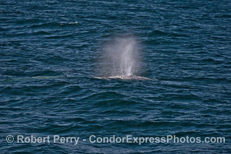 Gray whale spout