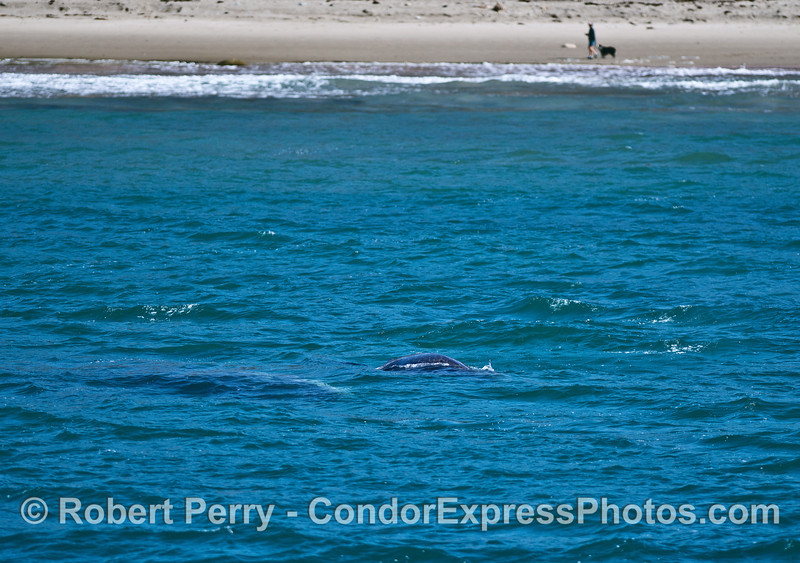 Man, dog, mother gray whale and her calf #2