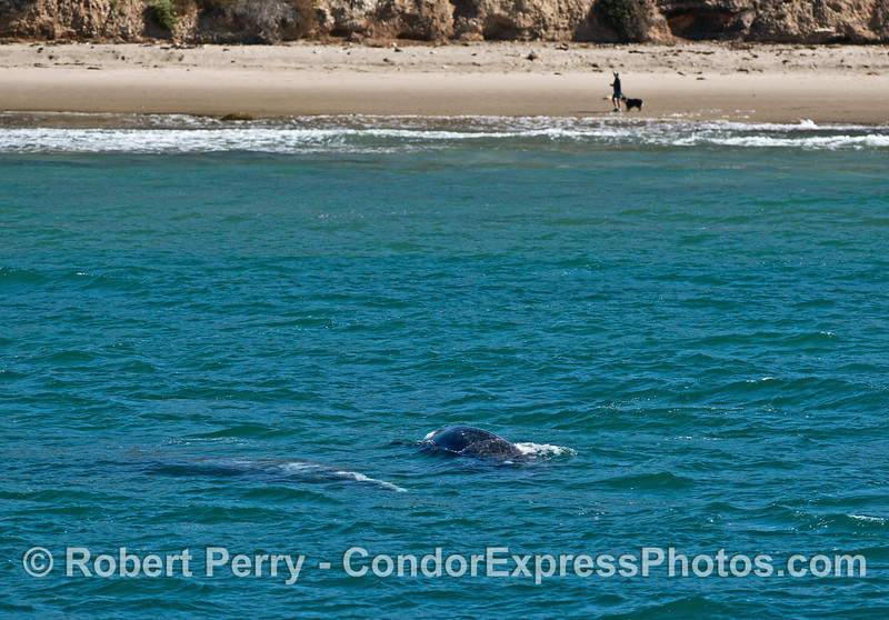 Man, dog, mother gray whale and her calf #1