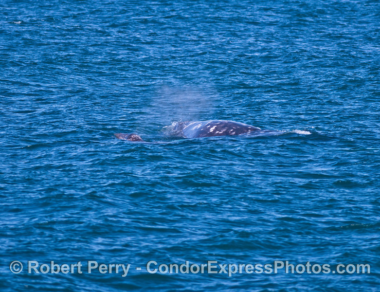 Mother and calf - gray whales