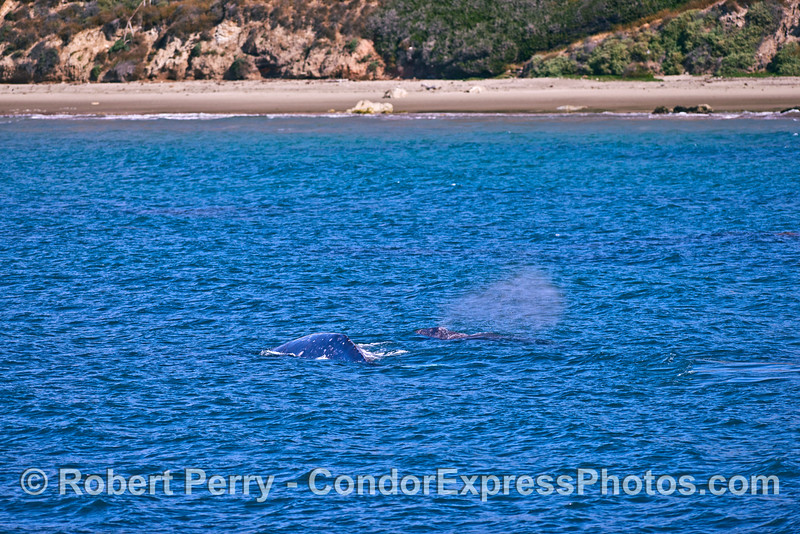 A very coastal gray whale mother and her calf