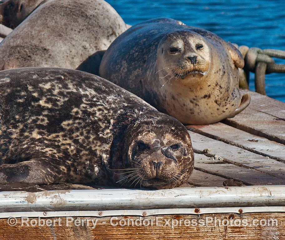 Two Pacific harbor seals