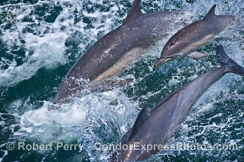 A waterfall of common dolphins including a calf (in the middle)