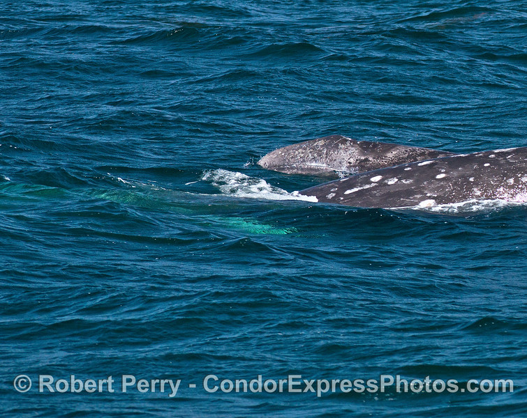 As the gray whale mother dives beneath the waves her calf pokes its head up to take a look around