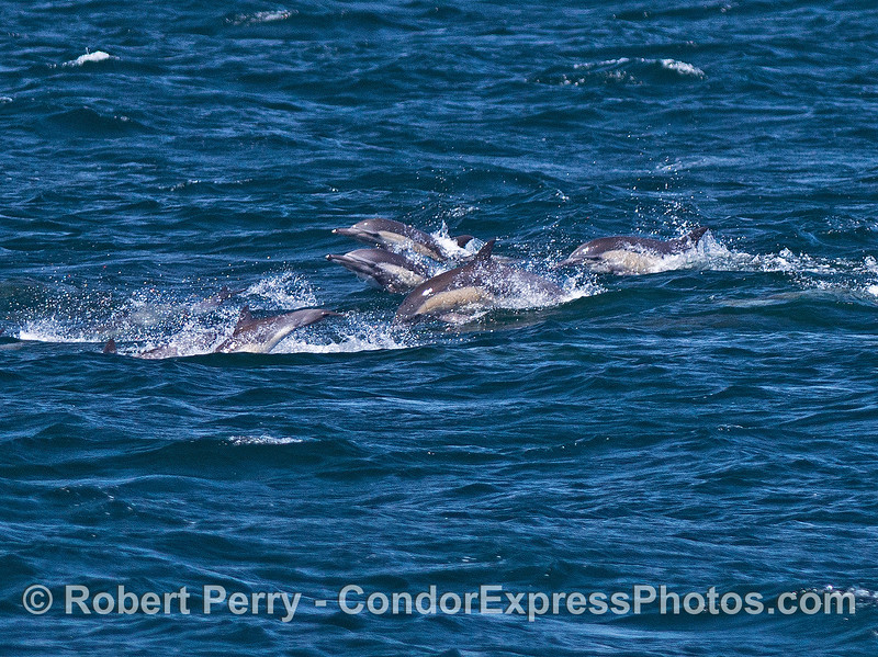 Even more leaping long-beaked common dolphins.