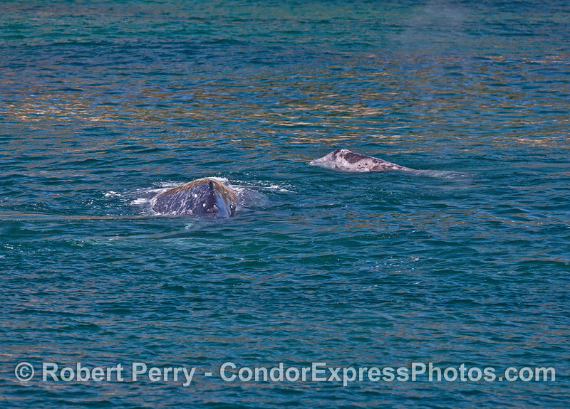 Mother (left) gray whale and her calf (right)