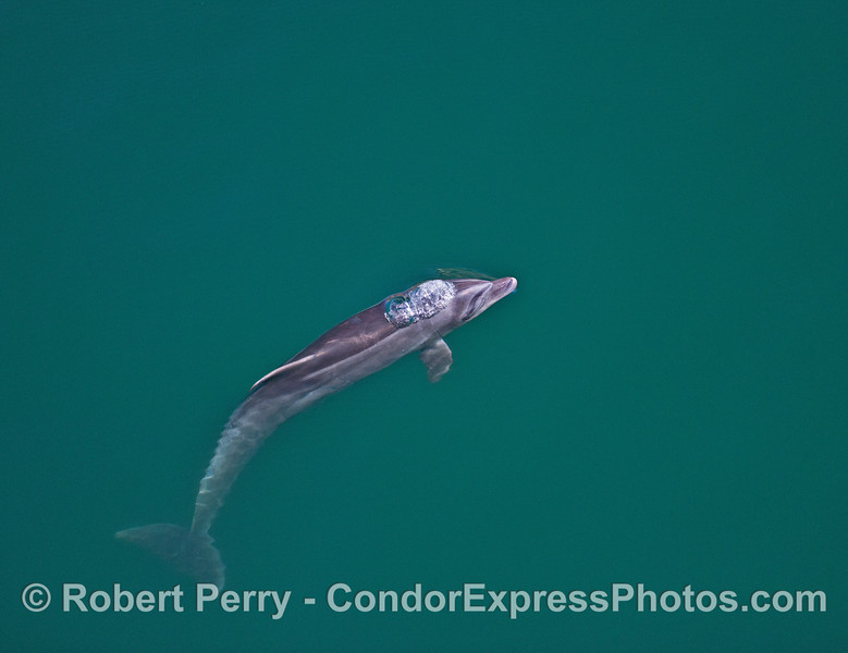 Image 4 of 4:   coastal bottlenose dolphin underwater