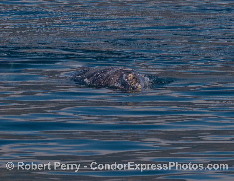 Gray whale calf heading directly towards the camera