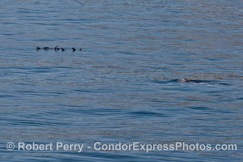 A gray whale calf swims towards a few rafting California sea lions.  (The sea lions remained rather nonchalant until the last minute)