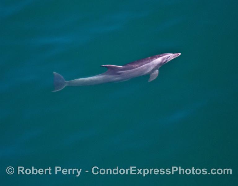Image 1 of 4:   coastal bottlenose dolphin underwater