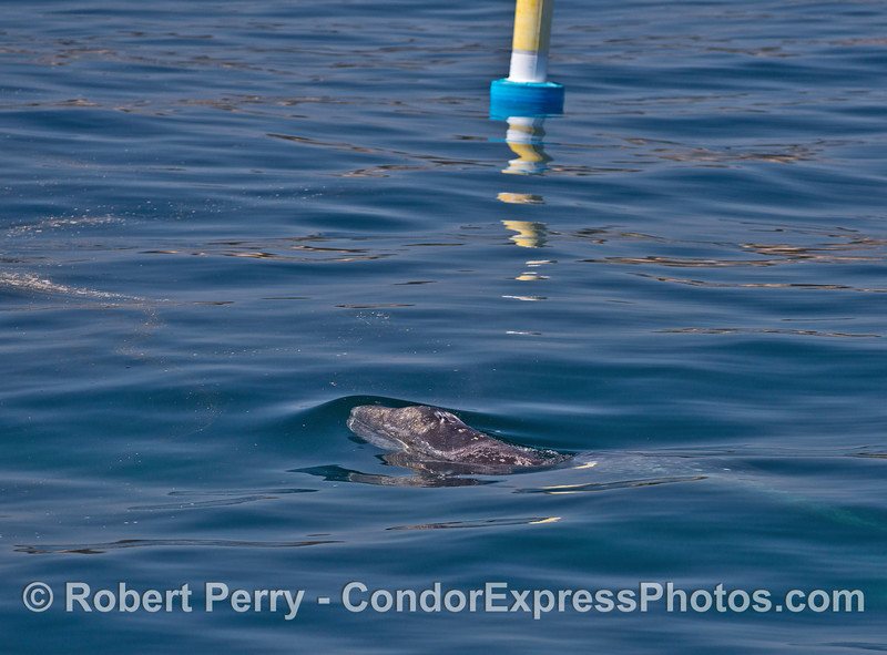 Gray whale calf swims in glassy water near a sailboat racing marker buoy