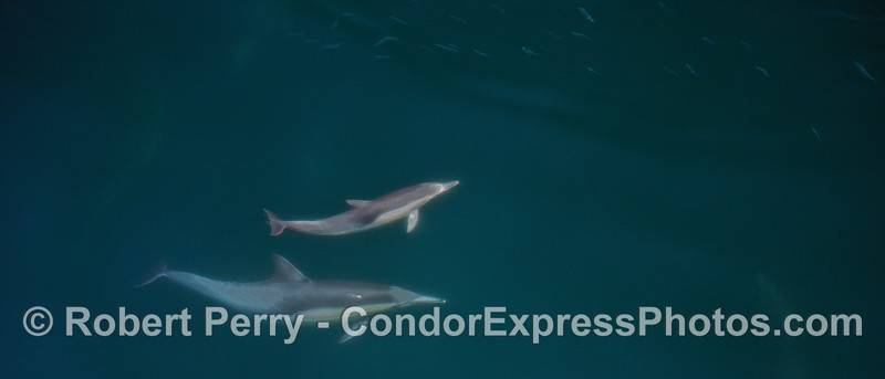 Long-beaked common dolphin mother and her calf - underwater with anchovies on top  PANORAMA