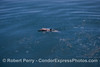 Long-beaked common dolphin swimmin through natural oil seepage