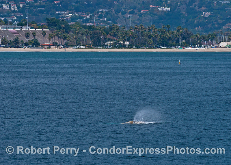Shoreline Park and the Santa Barbara College stadium form a backdrop for this northbound gray whale