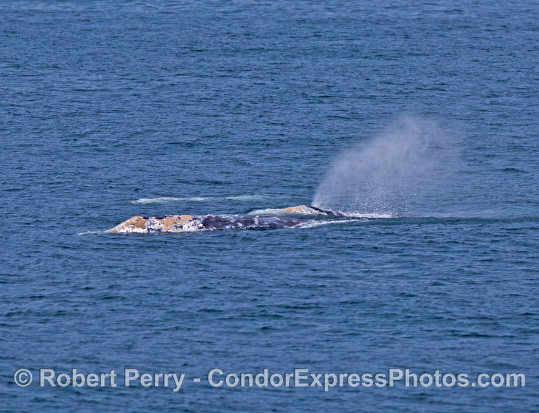 A dynamic gray whale duo