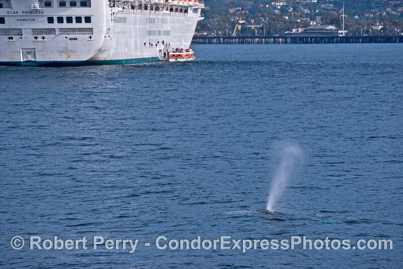 "A gray whale takes a big loop path outside and around the anchored cruise ship ""Star Princess"" - Santa Barbara Harbor"