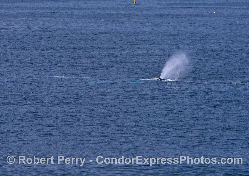 Guess the number of gray whales in this photograph !