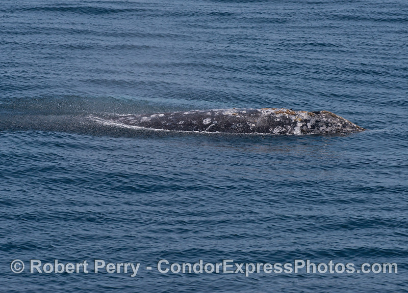 """""""Rain"""" patterns on the water from a gray whale's spout spray"""