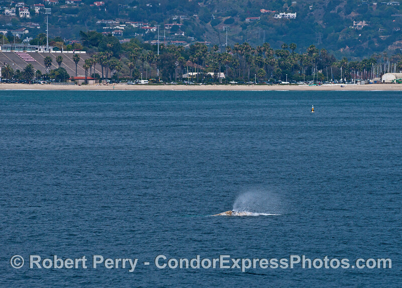 Gray whale and Santa Barbara City College stadium